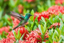 Hummingbird Flying  von Craig Lapsley