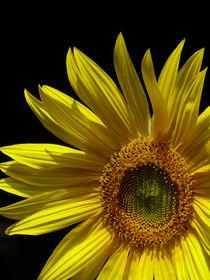Circling Sunflower von Margaret Saheed