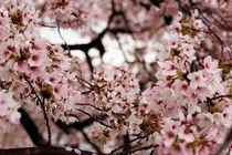 Spring Blossoms - Frühlingsblüten by Doug Graham