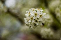 Spring Blossoms - Frühlingsblüten von Doug Graham