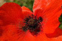 Close Up Poppy by serenityphotography
