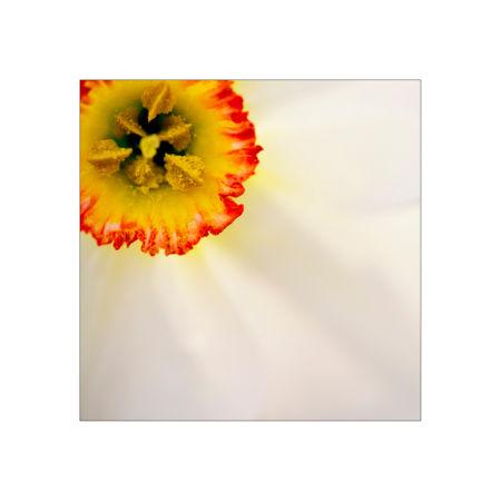 Narcissus-poeticus-erw