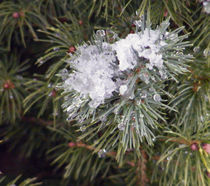 Pine,Snow and Ice von Sandra Woods