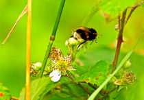 Bumble-bee-8428860
