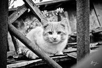 Little tiger by Iulia Stancu