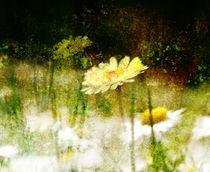 'Daisy Love Texture' by florin