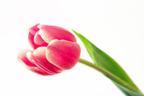 Tulip by inkedsandra