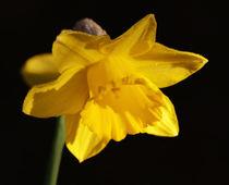 Daffodil von Nigel  Bangert