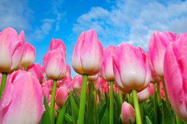 Pink-tulip-bluesky
