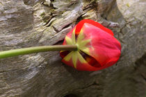 Tulpe - Tulip by ropo13