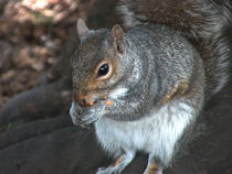 Nuts by Robert Gipson