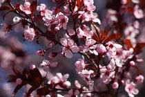 Ornamental Cherry Blossoms von Daniel Stalter
