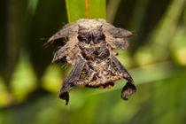 Hag-moth-caterpillar-442