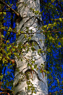 Branched-birch