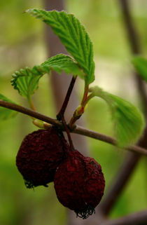 Berry-wilted-sm