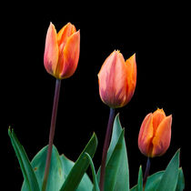 Three Tulips by John Biggadike