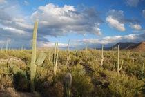 Abendstimmung - Saguaro NP von usaexplorer