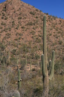 Kakteen - Saguaro NP von usaexplorer