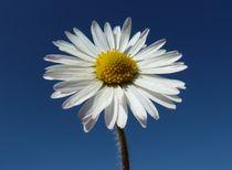Daisy by John McCoubrey