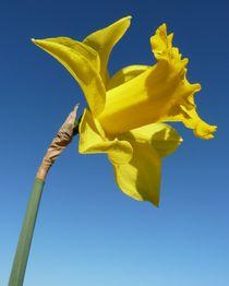 Trumpet Daffodil von John McCoubrey