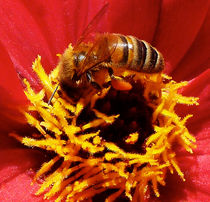 Australian Bee Enjoying Dahlia Pollen by Margaret Saheed