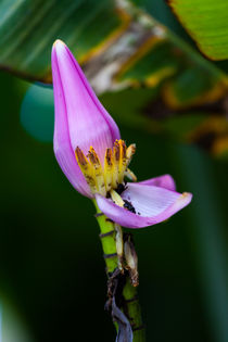 banana plant flower by Craig Lapsley