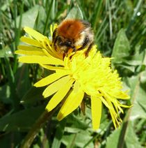 Bumble Bee on a Dandelion by John McCoubrey