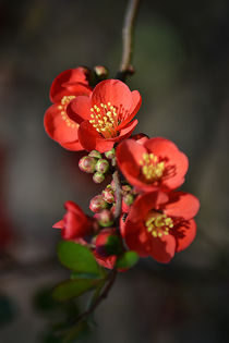 Red Flowering Quince von Colin Metcalf