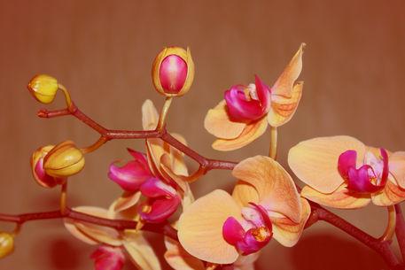 Orchideenrispe1