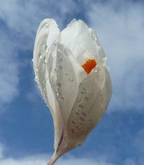 White Crocus von John McCoubrey