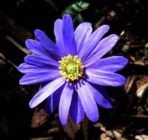 Purple Wood Anemone by John McCoubrey