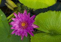 Joey-lawrence-pink-nymphaeaceae