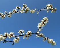 White Blossom by John McCoubrey