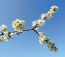 White Spring Blossom by John McCoubrey