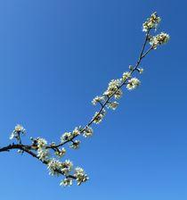Spring Blossom Branch von John McCoubrey