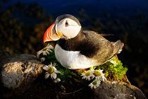 Papageientaucher in Island by coeser