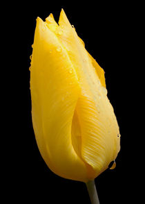 Yellow Tulip with raindrops von John Biggadike