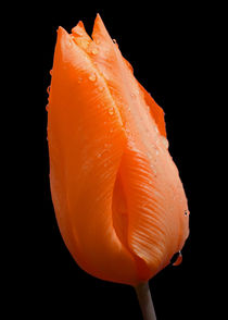 Orange Tulip with raindrops. von John Biggadike