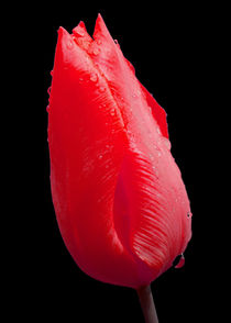 Red Tulip with raindrops by John Biggadike