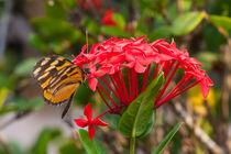 933-butterfly-rubiaceae
