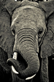 Close Encounters: Elephant by Dennis Lemmers
