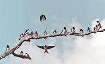 Swallows by Dennis Lemmers