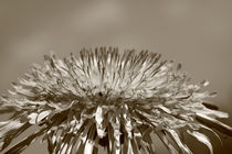 Pusteblume - Dandelion von ropo13