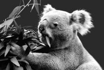 Koala eating eucalyptus leaves von Linda More