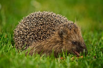Igel by photoart-hartmann