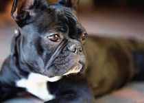 Französische Bulldogge von Falko Follert
