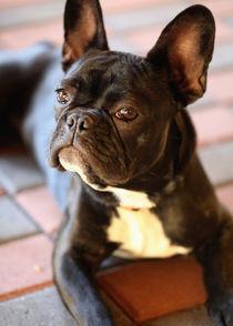 Französische Bulldogge by Falko Follert
