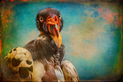 Finer-feathered-friends-penelope-queen-of-the-king-vultures