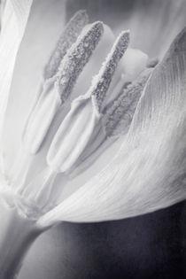 Tulipbw