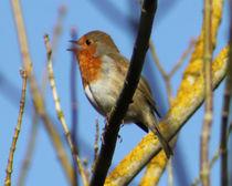 singing robin von mark-philpott